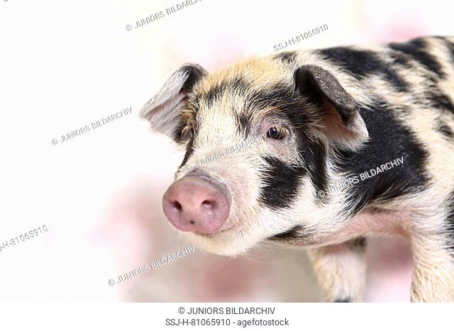 Domestic Pig, Turopolje x ?. Portrait of piglet (4 weeks old). Studio picture seen against a white background with flower print. Germany