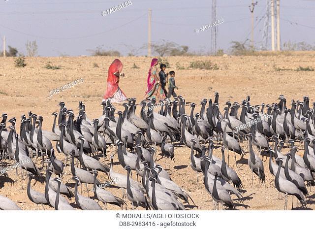 Asia, India, Rajasthan, Thar desert, Kichan, village of the Marwari Jain communuty, have been feeding every winter since 1970 the Demoiselle cranes (Grus virgo)...