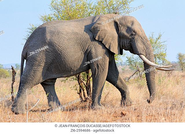 African bush elephant (Loxodonta africana), bull, walking in the bush, Kruger National Park, South Africa, Africa