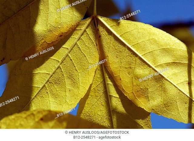 Common Walnut, Leaves (Juglans regia), France