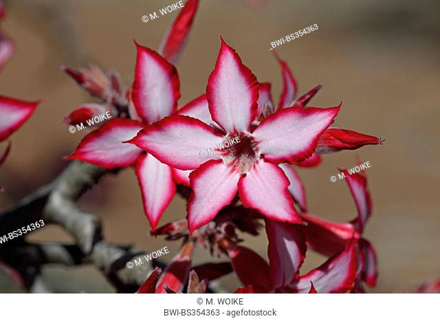 impala lily (Adenium multiflorum), flowers, South Africa, Kruger National Park