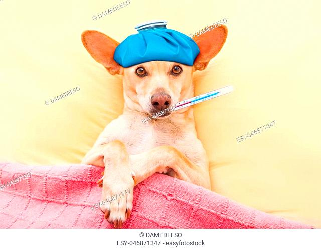 sick ill dog resting and recovering in bed , headache or fever, thermometer in mouth and ice pack on head