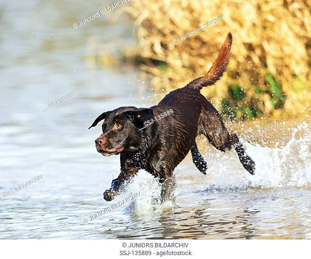 Labrador Retriever - running in water restrictions:Tierratgeber-Bücher / animal guidebooks