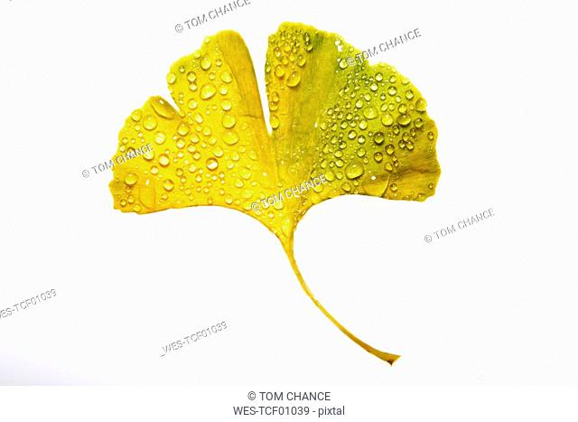 Ginko leaf with water droplets, elevated view