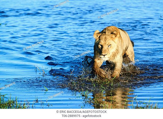 African lioness (Panthera leo) walking in water. Duba Plains concession, Okavango delta, Botswana