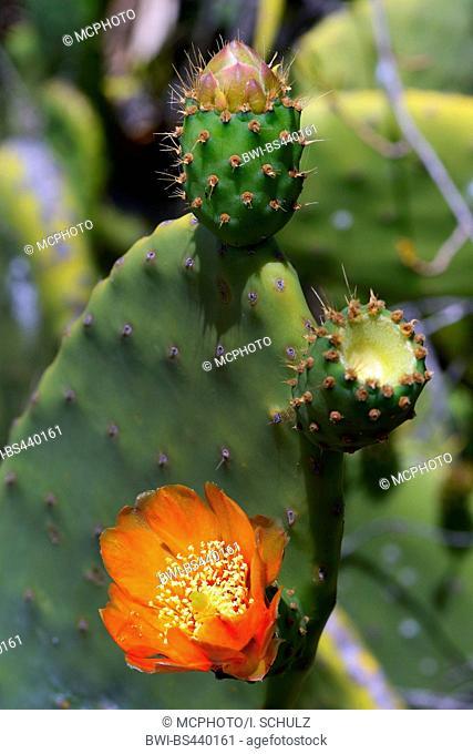 Indian fig, cactus pear (Opuntia ficus-indica, Opuntia ficus-barbarica), blooming, Canary Islands, Tenerife