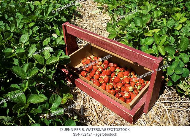 A wooden crate holds fresh-picked strawberries in a field
