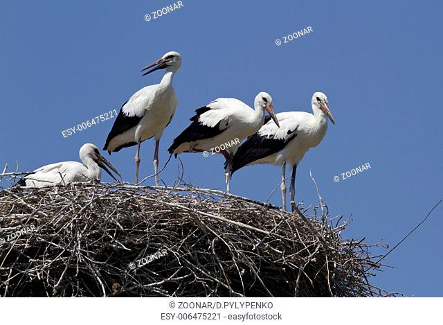 Young white storks, which are in the nest