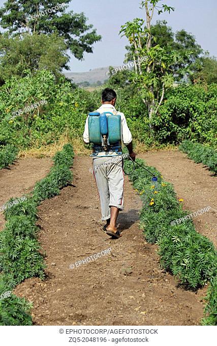 Farmer spraying fertilizers and pesticides in a farm of marigold flowers, Maharashtra, India