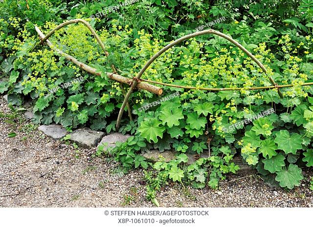 Lady's mantle Alchemilla with edging of willow branches