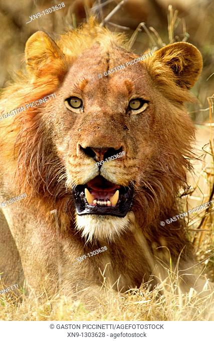 African lion Panthera leo - Male, young, after eat, Kruger National Park, South Africa