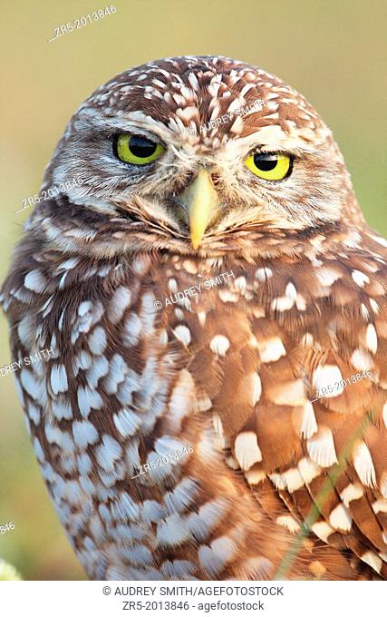 Burrowing owl head and shoulders portrait, Florida, USA