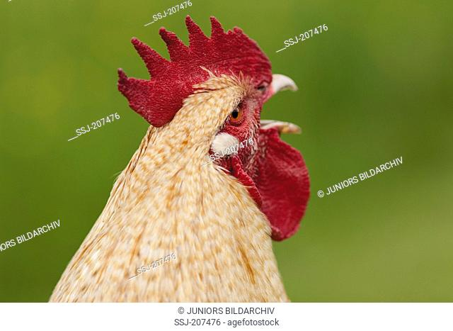 Niederrheiner Chicken. Portrait of a rooster crowing. Germany