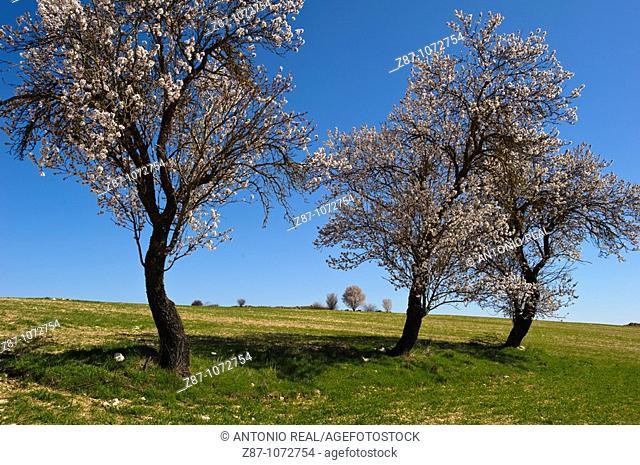 Almond tree in bloom near Budia, La Alcarria, Guadalajara province, Castilla-La Mancha, Spain