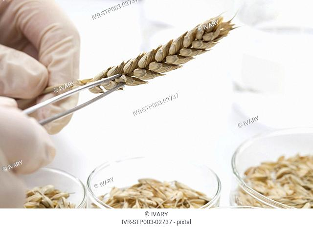 Tweezers Holding Wheat Sample