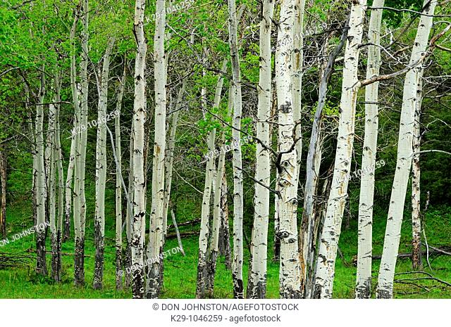 Trembling aspen Populus tremuloides