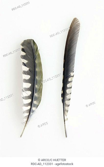 Green Woodpecker feathers of arm wings and hand wings Picus viridis