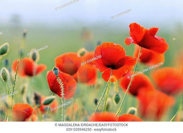 Sunset and landscape with red poppy field