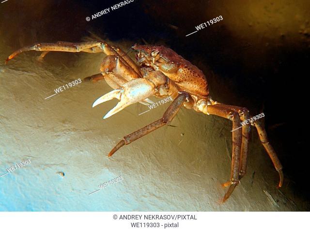 Spider crab Hyas araneus, White Sea, Kareliya, Russia, Arctic