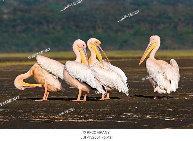 several Great White Pelicans / Pelecanus Onocrotalus