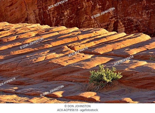 Weathered sandstone rock formations and Utah Mortonia (Mortonia utahensis), Valley of Fire State Park, Nevada, USA