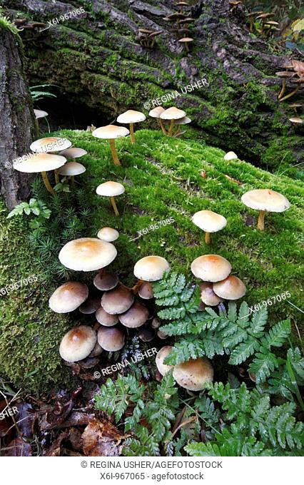 Sulphur Tuft Fungi Hypholoma fasciculare, growing on decaying tree stems in forest, Germany