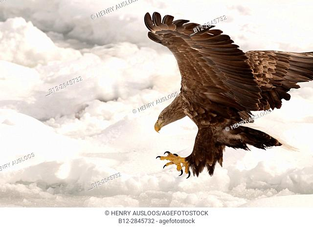 White-tailed Sea-eagle landing on the pack (Haliaeetus albicilla), Russia