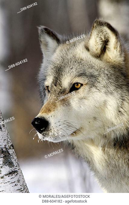 Timber Wolf (Canis lupus), Minnesota, USA