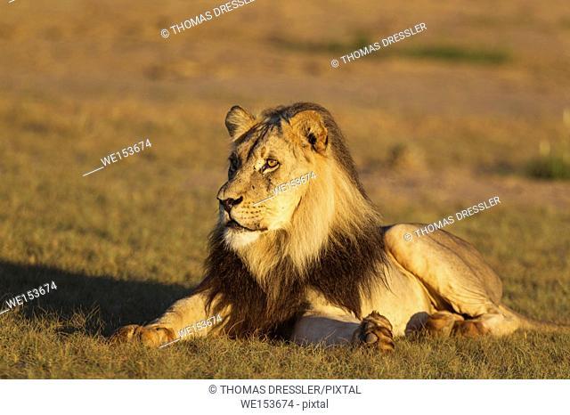 Lion (Panthera leo). Black-maned Kalahari male. Resting in the morning sun. Kalahari Desert, Kgalagadi Transfrontier Park, South Africa