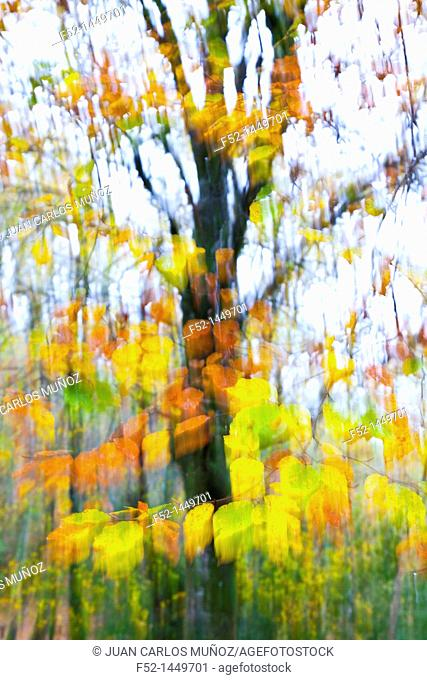 European Beech or Common Beech forest, Ucieda forest, Saja-Besaya Natural Park, Cantabria, Spain, Europe