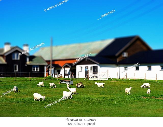 Norway micro toy farm with sheep landscape background hd