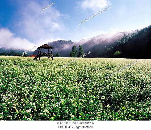 Buckwheat Field,Gangwon,Korea