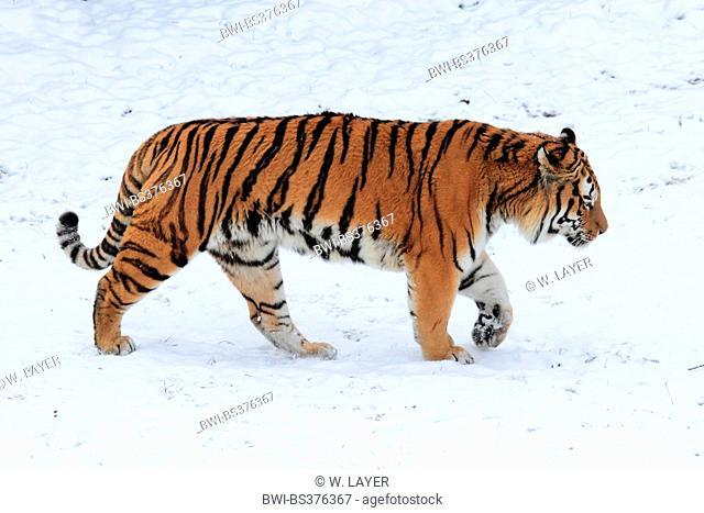 Siberian tiger, Amurian tiger, Amur tiger (Panthera tigris altaica), Amurian tiger in the snow
