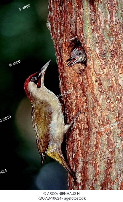 Green Woodpecker with chick at tree hole, Germany, Picus viridis