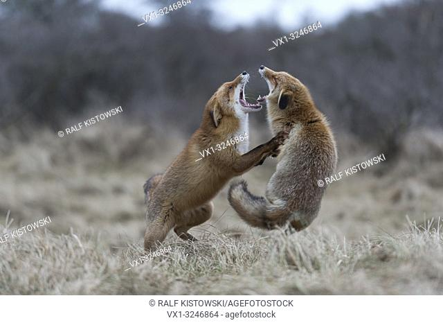 Red Foxes / Rotfuechse ( Vulpes vulpes ) in hard fight, fighting, standing on hind legs, biting each other, while rutting season