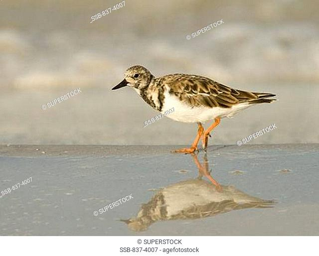 Ruddy turnstone Arenaria interpres at lakeside
