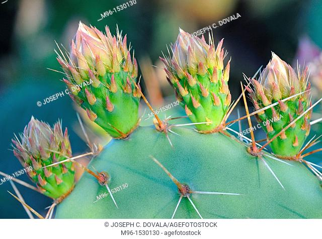 Closeup of prickly pear cactus, Thousand Oaks, California, USA