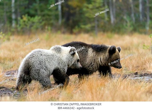 Brown bears (Ursus arctos), cubs in autumn forest, Kuhmo, Kainuu, North Karelia, Finland