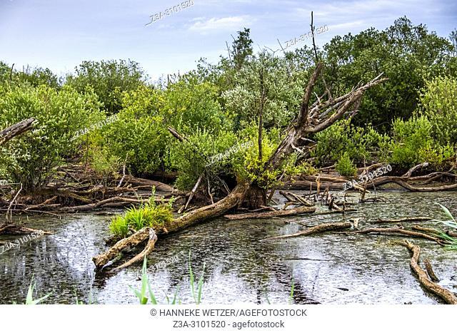 Swamp in the Oostvaardersplassen nature reserve in the Netherlands, Europe