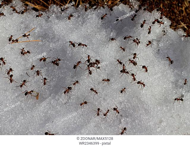 early spring ants in snow