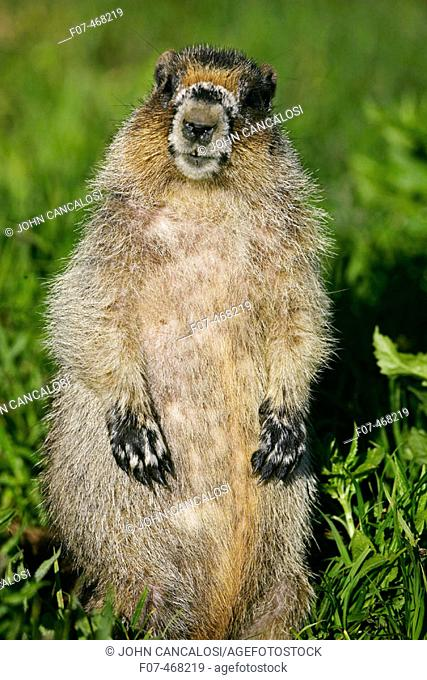 Hoary Marmot (Marmota caligata) - Montana - Found in Alaska south to Washington-northern Oregon and most of Montana and parts of Idaho - Lives on rocky mountain...
