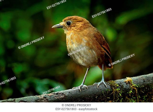 Birdwatching in Colombia, South America. Rufous Antpitta
