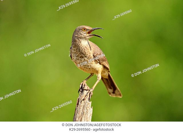 Curve billed thrasher (Toxostoma curivrostre), Rio Grande City, Texas, USA