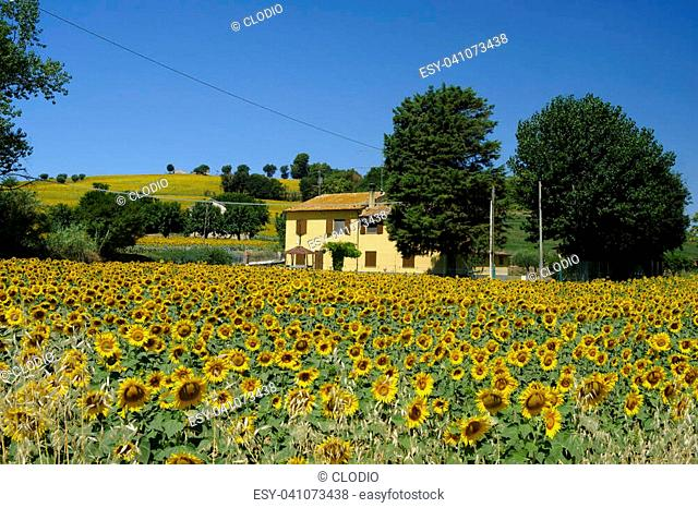Rural landscape along the road from Corinaldo to Ostra (Ancona, Marches, Italy) at summer. Sunflowers