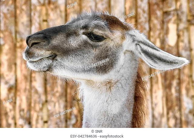 Portrait of Llama against the Wooden Background