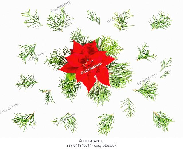 Red Christmas flower poinsettia and coniferous branches. Floral flat lay background