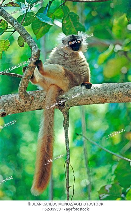 Black Lemur (Eulemur macaco macaco)
