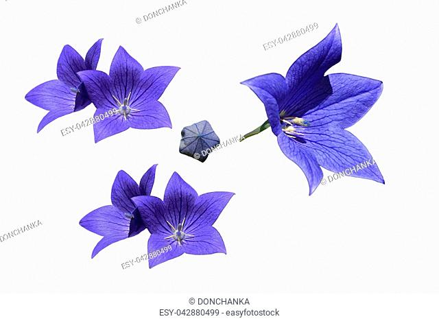 Balloon Flower On White Background Stock Photos And Images Age