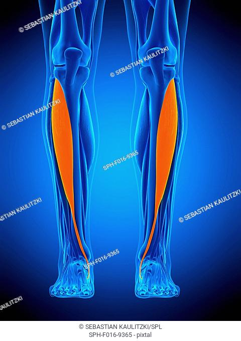 Illustration of the tibialis anterior muscle