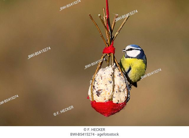 blue tit (Parus caeruleus, Cyanistes caeruleus), at self made bird food in fat ball made of willow twigs, Germany